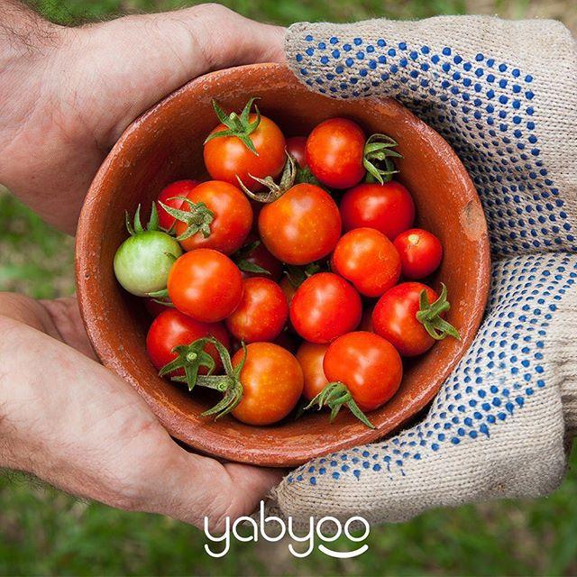 Domates yetiştirmek için ihtiyacınız olan malzemeler